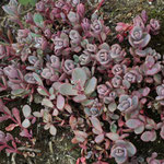 Sedum cyaneum 'Rosenteppich', Foto: Winfried Rusch