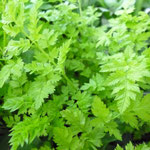 Anthriscus sylvestris 'Going For Gold'