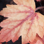 Heucherella alba 'Sweet Tea', Foto: Winfried Rusch