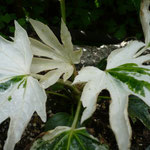 Fatsia japonica 'Spindlers Web'