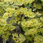 Euphorbia characias ssp. wulfenii 'Merlot Variegata'