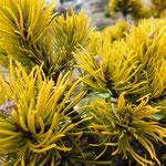 Pinus mugo Carstens 'Wintergold'