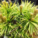 Pinus mugo 'Lemon'