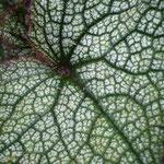 Cacalia ssp. China