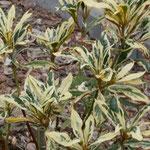 Rhododendron 'Claydian Variegata', Foto: Uwe Greßmann