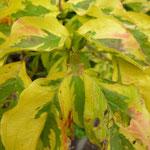 Commelina tuberosa 'Variegata'