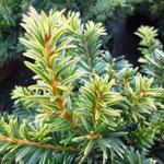Taxus baccata 'Goud Elsje'