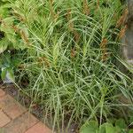 Carex muskingumensis 'Silberstreif', Foto: Uwe Greßmann