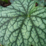 Heuchera cylindrica 'Greenfinch'