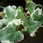 Hedera helix 'Williamslana'