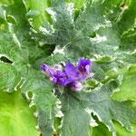Geranium phaeum  'Variegata'