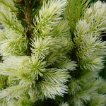 Picea glauca 'Starlight' (1)