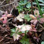 Geranium x oxonianum 'Spring Fling'