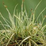 Carex hachijoensis 'Evergold', Foto: Winfried Rusch