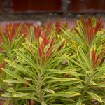 Euphorbia x martinii 'Ascot Rainbow', Foto: Winfried Rusch
