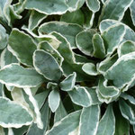 Allyssum saxatile 'Dudley Neville Variegata'