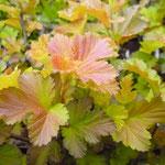 Physocarpus opulifolius 'Jefam'