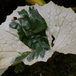 Farfugium japonicum 'Argenteum', Foto: Olaf Schachtschneider