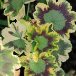 Pelargonium 'Mrs Pollock', Foto: Winfried Rusch