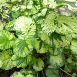Barbea vulgaris 'Variegata'