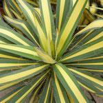 Yucca gloriosa 'Aureovariegata'