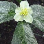 Helleborus argutifolius 'Snow Fever'
