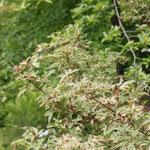 Acer palmatum 'Butterfly', Foto: Olaf Schachtschneider