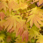 Acer shirasawanum 'Autumn Moon', Foto: Winfried Rusch