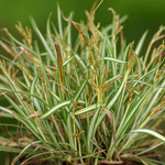 Carex ornithopade 'Variegata', Foto: Winfried Rusch