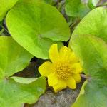 Caltha palustris 'Bärbel'