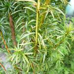 Taxus baccata 'Intermezzo'