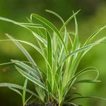 Carex foliosissima 'Icedance', Foto: Winfried Rusch