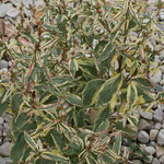 Oenothera fruticosa ssp. glauca 'Frühlingsgold', Foto: Uwe Greßmann