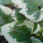 Brunnera macrophylla 'Dawson J. White'