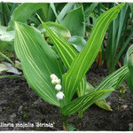 Convallaria majalis 'Striata', Foto: Marion Hessling