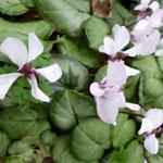 Cyclamen coum 'Silver Leaf'