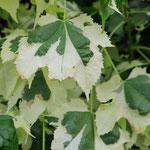 Abutilon cultivar, Foto: Winfried Rusch