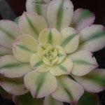 Aeonium canariensis 'Variegata'