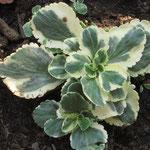 Chiastophyllum oppositifolium 'Jim's Pride', Foto: Beate Hoing