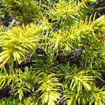 Juniperus controversa 'Allgold'