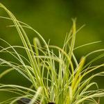 Carex conica 'Snowline', Foto: Winfried Rusch
