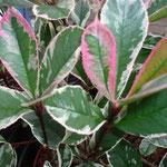 Photinia fraseri 'Pink Marble'