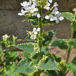 Lunaria annua var. albiflora 'Variegata'
