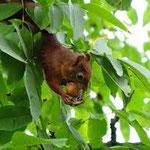 De eekhoorntjes rennen op en neer naar de walnotenboom