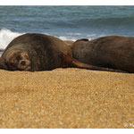 Sea lions - sleeping