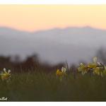 Jonquille sur fond des Monts du Cantal