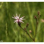 Lychnis fleur-de-coucou