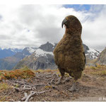 Kea on Gertrude saddle