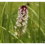 Orchis brûlée - Neotinea ustulata