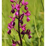 Orchis à fleurs lâches - Anacamptis laxiflora